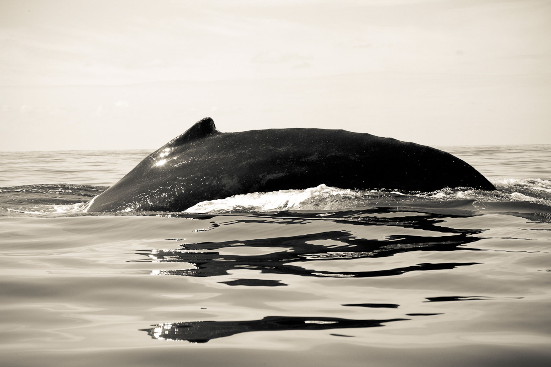 Underwater Editorial Photography_Humpback Whale Fin